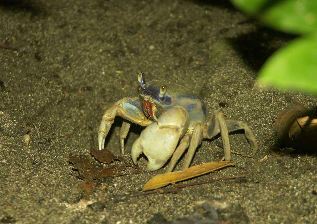 un crabe mangrove, du même nom que la plante